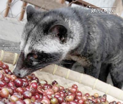 養殖のジャコウネコがコーヒーチェリーを食べている写真